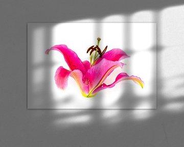 Roze bloem van lelie vrijstaand op witte achtergrond van Ben Schonewille
