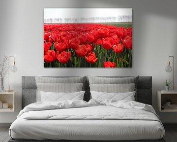 Veld vol rode tulpen in de zon