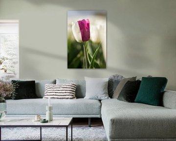 Zweifarbige Tulpe von Charlene van Koesveld
