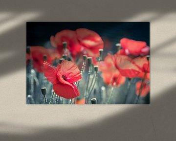 Klaprozen in bloei