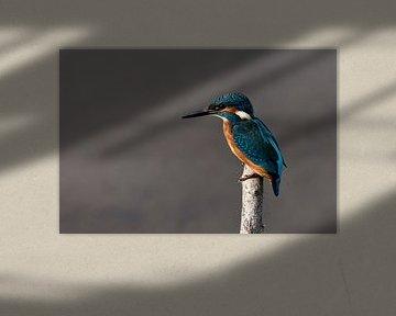 Ijsvogel op stok van Gerjo Horsman