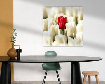 Rote einsame Tulpe. von Gert Hilbink