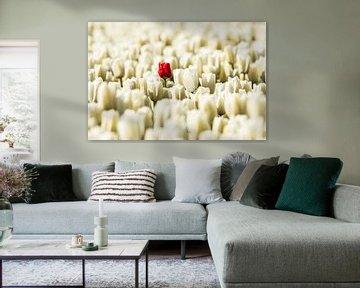rote einsame Tulpe in Holland von Gert Hilbink