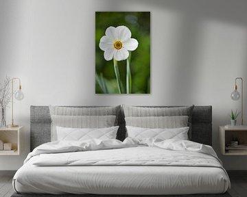 Narcissus poeticus var. Recurvus (Dichtersnarcis) - Stinzenplant von Sran Vld Fotografie