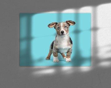 Welsh corgi puppy tegen een blauwe achtergrond / Cute blue merle welsh corgi puppy with blue eyes st van Elles Rijsdijk