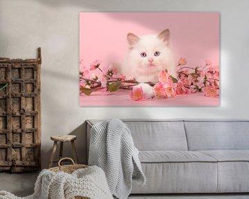 Ragdoll kitten in het roze / Cute 6 weeks old rag doll baby cat with blue eyes lying on the f van Elles Rijsdijk