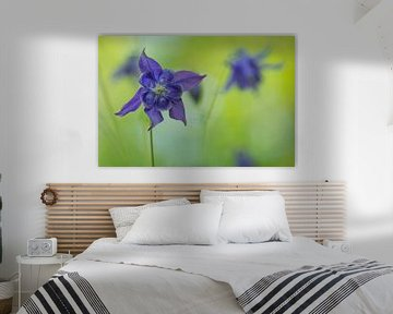 Wilde akelei / Purple wild columbine blooming on a green natural background