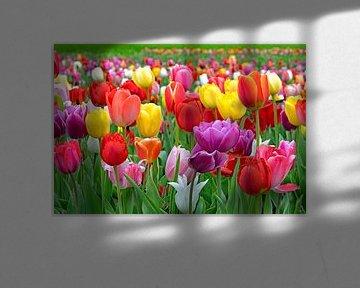 Tulpenfeld von Judith Cool