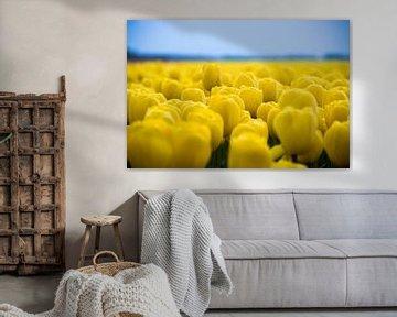gele tulpen, prachtig tulpenveld
