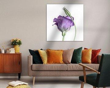 Purple Princess... (bloem) von Bob Daalder