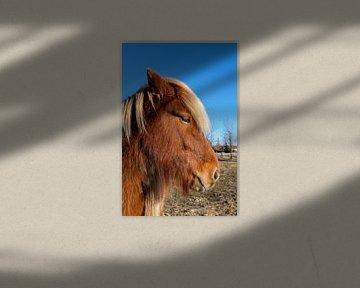 Vriendelijk IJslands paardje von Joke Beers-Blom