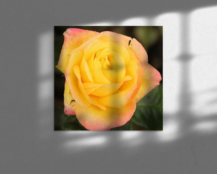 "Sfeerimpressie: Roos ""Pullman Orient Express"" in bloei van André Muller"