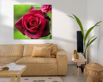 """Roos """"Gräfin Diana"""" in bloei in donker rode kleur in close-up"""