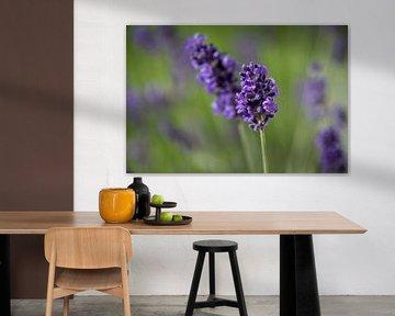 Lavendel von Hans Tijssen