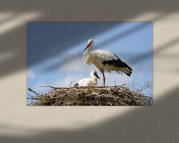 Ooievaar met jong op nest