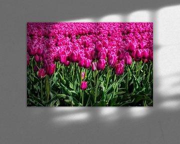 Tulpen von Hans Tijssen