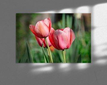 Tulpen Uit Utrecht