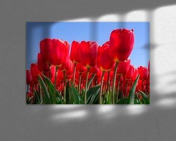 Rote Tulpen in Blüte von eric van der eijk
