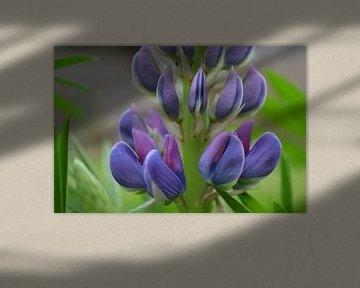 Nahaufnahme Blaue Blume von Lupine von Ingrid Bargeman