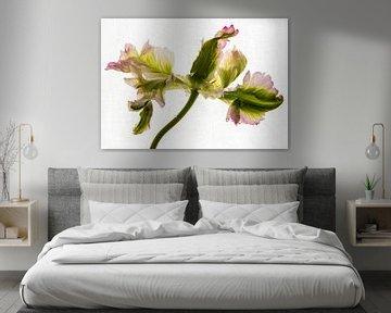 Tulpe in vollem Glanz von Annelies Martinot