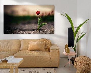 Einsame rote Tulpe auf einem Birnengebiet von Fotografiecor .nl