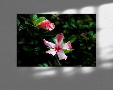 Roze Hibiscus in het wild in de jungle in de amazone van peru sur John Ozguc