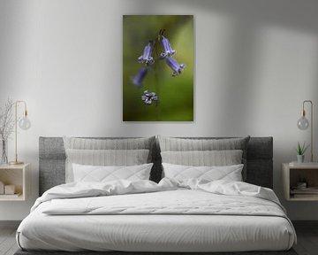 the blue wood hyacinth von Koen Ceusters