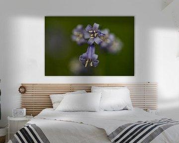 a close-up of a blue wood hyacinth von Koen Ceusters