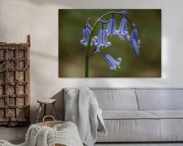 a blue wood hyacinth von Koen Ceusters