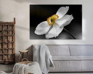 white anemone von Koen Ceusters