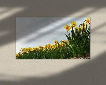 bloemenveld met narcissen bij Lisse begin april von Georges Hoeberechts
