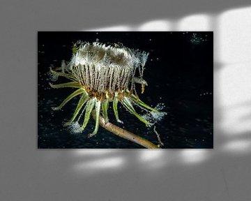 Onderwater Paardenbloem van Gerry van Roosmalen