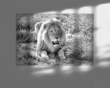 Löwen Männchen sw 2430