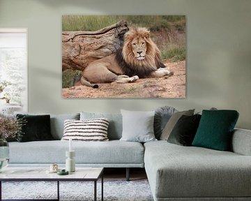 Löwen Männchen 9027