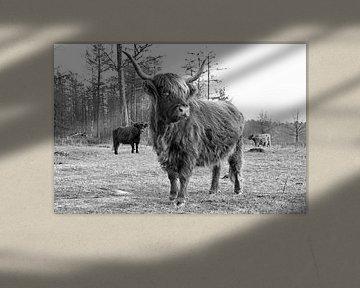 Prächtiges Porträt eines schottischen Hochländers von Judith Cool