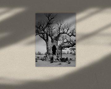 baobab b&w van joost vandepapeliere