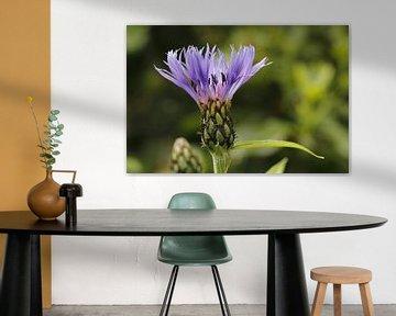 Die Kornblume (Centaurea cyanus) von Carel van der Lippe