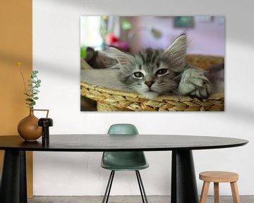 Katzenjunges in Nahaufnahme Porträt Entspannte Waldkatze von Thomas Wagner