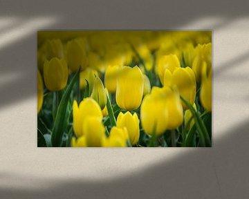 Gelbe Tulpe Nahaufnahme, Tulpenfeld von Patrick Verhoef