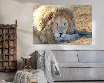 Weißes Löwen Männchen