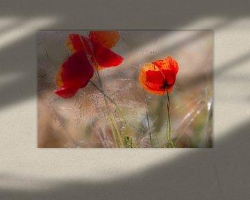 Mohnblumen am frühen Morgen von Kurt Krause