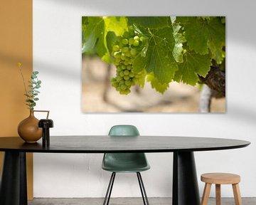 Druivestokken in een wijngaard in Zuid-Frankrijk (7) van rene marcel originals