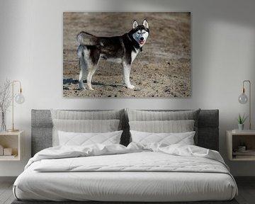 Bild eines Sibirischen Huskys in stehender Position von der Seite und mit Blick auf Sie von Peter Buijsman