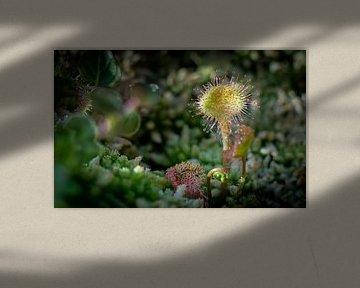 Zonnedauw is een vleesetend plantje. Dit is de ronde zonnedauw (Drosera rotundifolia) van Fred Louwen