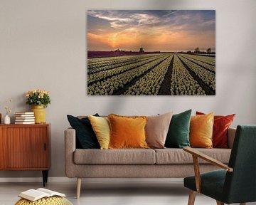 Hyacinth fields.