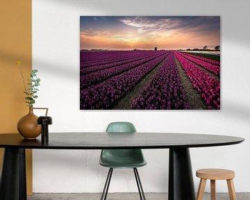 Hyacinth fields
