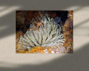 Bonaire, Anemoon, Sorobon, Oranje met wit, von Silvia Weenink