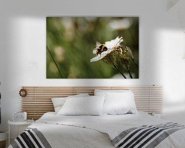 Honingbij op witte strobloem von Sandra van Kampen