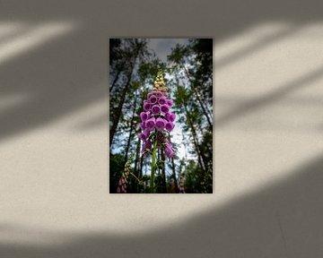 Schöne blühende Fingerhutblumen im Wald von Fotografiecor .nl