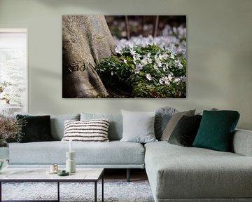 bosanemoon een stinzenplant in een beukenbos van Peter Buijsman